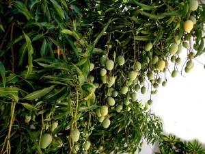 The Indian mango tree