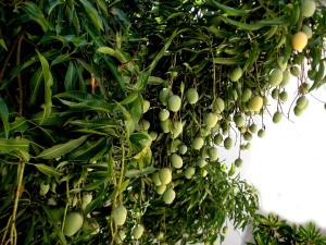 The Indian mango tree